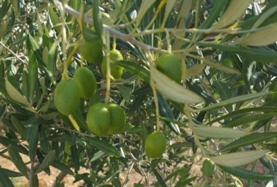 Moïse the Olive Tree's history