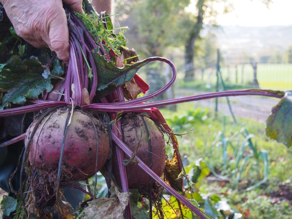 The beet harvest in Aveyron