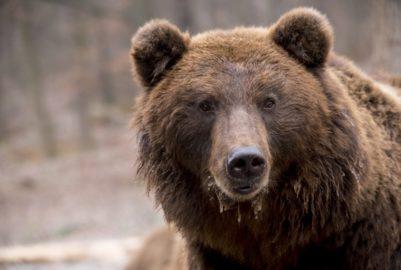 Réintroduire deux ours dans les Pyrénées, une bonne idée ?